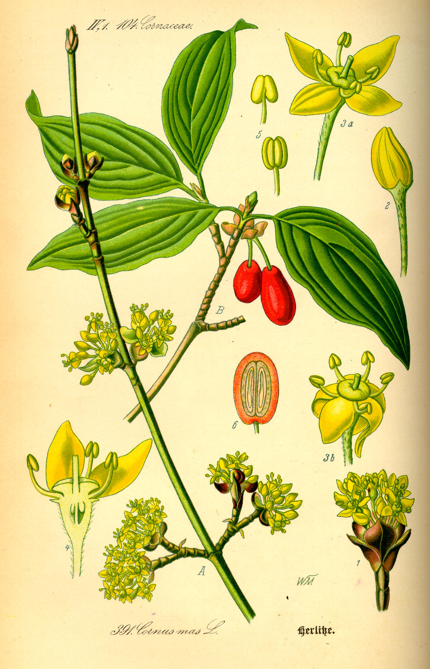 http://wildekraeuterey.de/images/Illustration_Cornus_mas0.jpg
