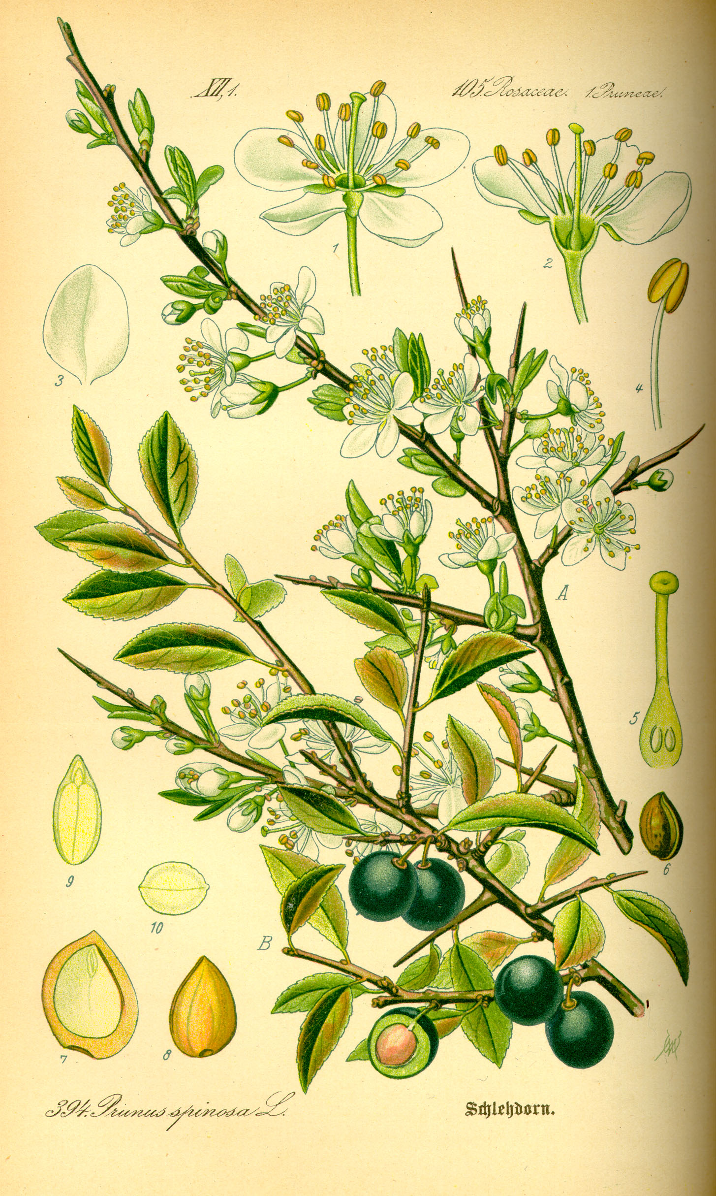 http://wildekraeuterey.de/images/Illustration_Prunus_spinosa0.jpg